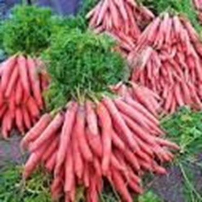 Picture of DELHI CARROT