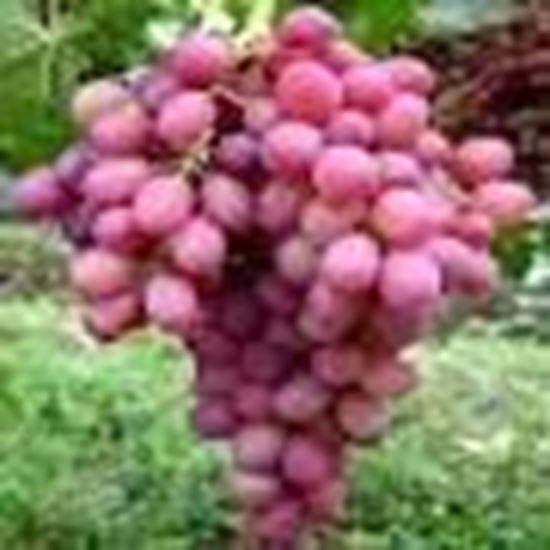 Picture of RED GLOBE GRAPES