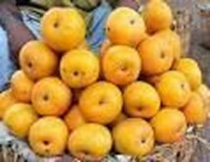 Picture of MALGOVA(MANGO)