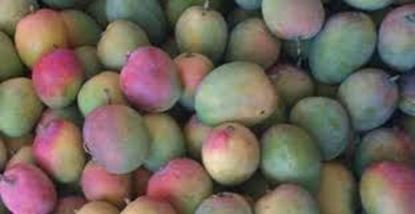 Picture of CHACKARRAI KUTTY(MANGO)